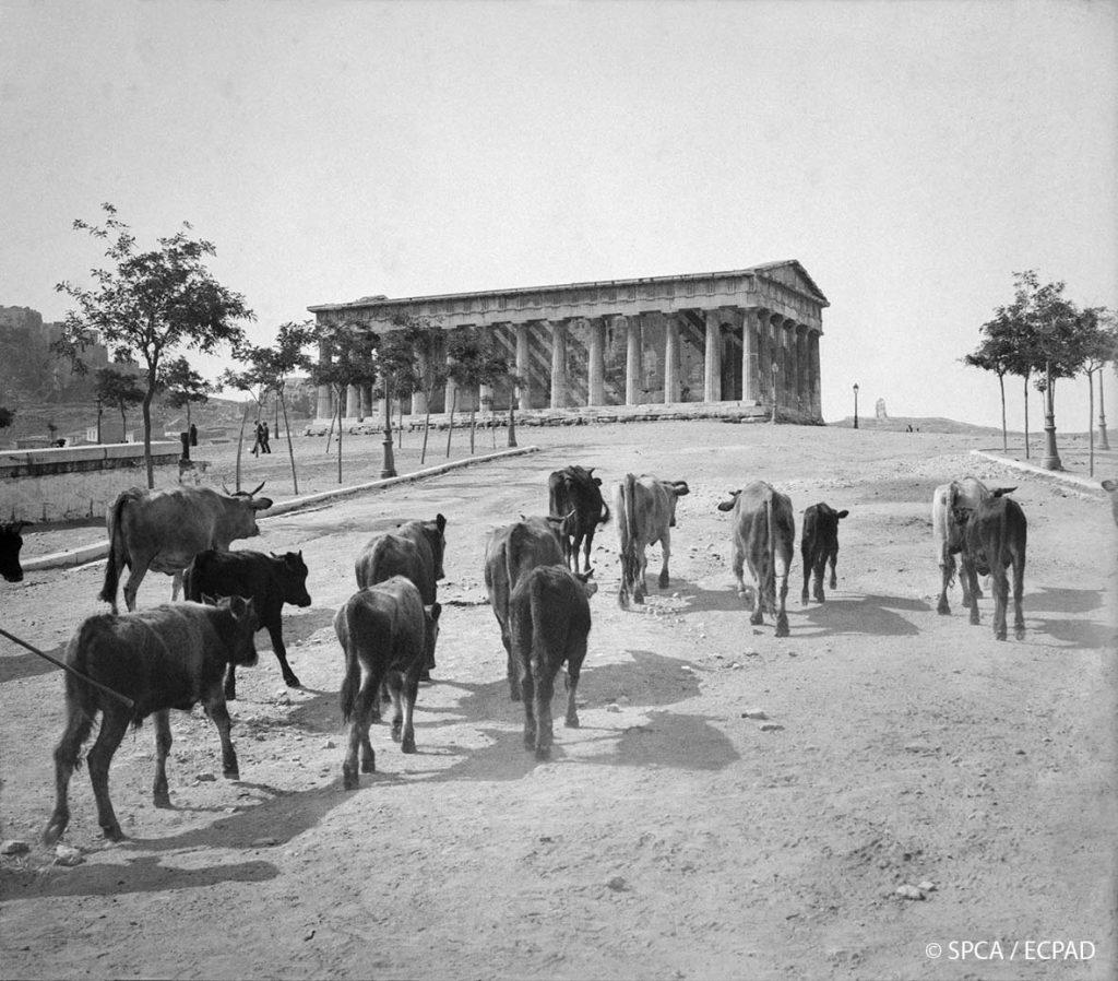 Κοπάδι ζώων μπροστά από τον ναό του Ηφαίστου / Opérateur C, Pierre Machard © SPCA / ECPAD