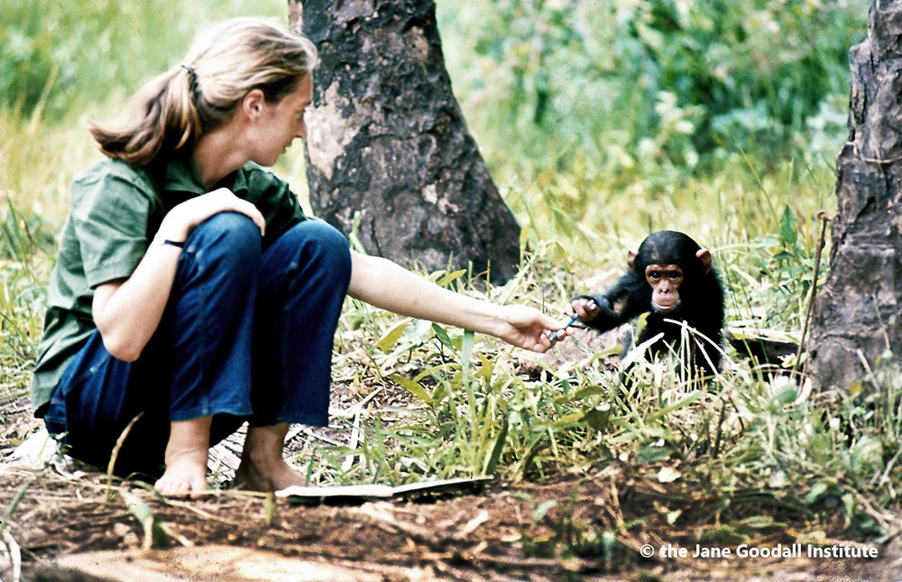 Jane Goodall in Gombe © Τhe Jane Goodall Institute by Hugo Van Lawick